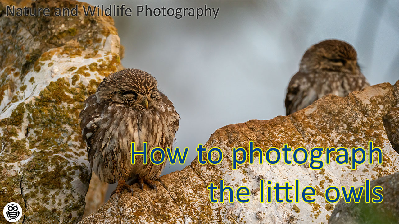 How to photograph little owls - Streamed by Giuseppe Gessa